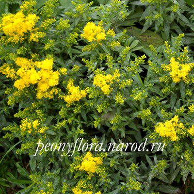 Цветы с желтыми метёлками