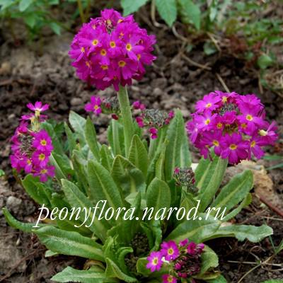 цветки полыни от паразитов